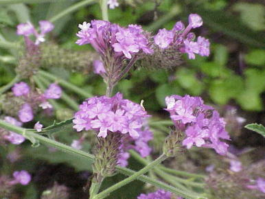 ベルベイヌ植物画像2