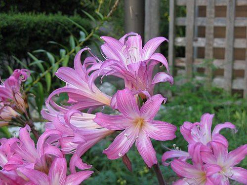 植物のアマリリス